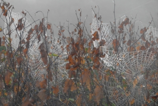 Spiderweb - A misty morning and lots of spiders.