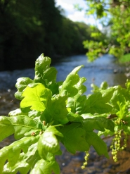 Oak leaves - It might be Welsh river Usk in the background, but it's the juicy leaves that makes it a place to long for in this picture.