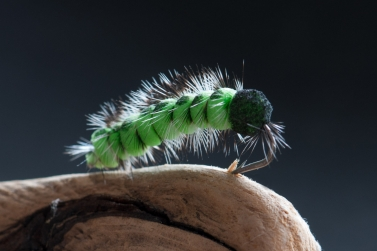 Green is the new black - Green is rarely a mistake when it comes to caterpillars. The juicy, green color is probably the most common amongst the naturals