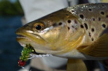 Brown trout on a rubber leg fly