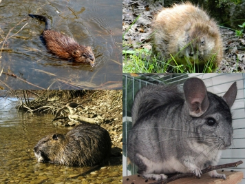Furry animals - Some of the animals whose fur is very suitable for zonkers. Top left and right: a muskrat in the water and on dry land. Bottom left: a nutria (coypu) and a chinchilla. All these are generally available as whole, tanned skins.