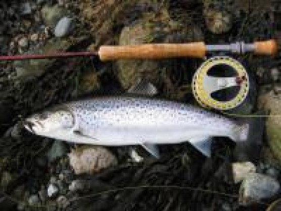 A five sea trout day - image -