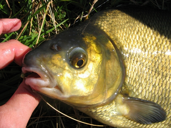 Re: Bream - image -