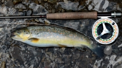 Healthy brown trout