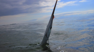 A garfish in the surface