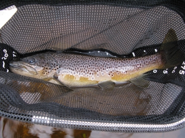 A good sized brown trout