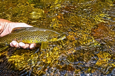 Native brown trout