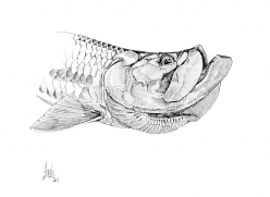 Tarpon drawing