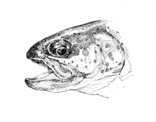 Trout drawing