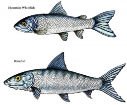 Whitefish and bonefish