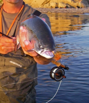 Greedy fish - This sea run rainbow took the Terrible Muddler fished in the surface