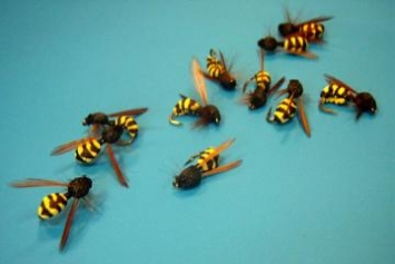A whole lotta wasps - Some Shark's Wasps waiting for the chub's fiesta