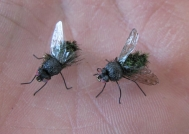 Two flies - The housefly imitation is very close to the natural
