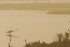 Heron searching for breakfast on foggy morning -