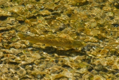 Brown Trout.  Mill Race at the Yellow Breeches, PA -