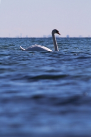A swan - A simple picture of a common subject becomes much more interesting with a low perspective.