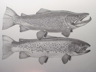Great Lakes Brown Trout Pair -