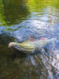 Another chub an a large foam fly -