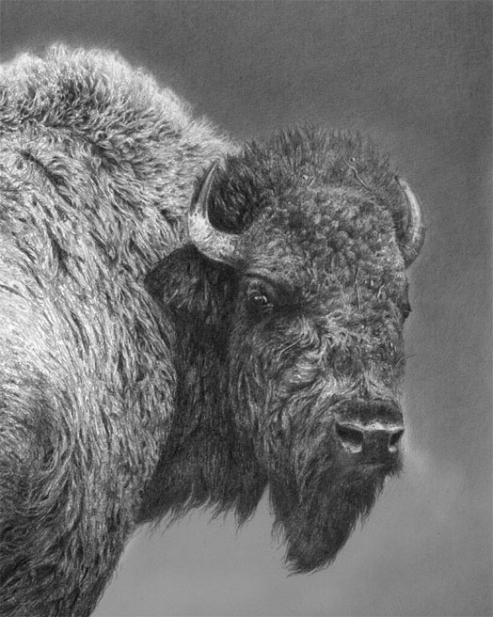 American bison -