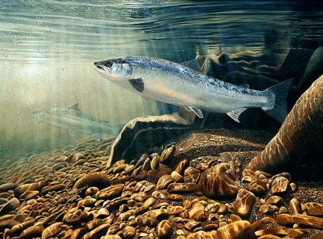 Atlantic salmon -