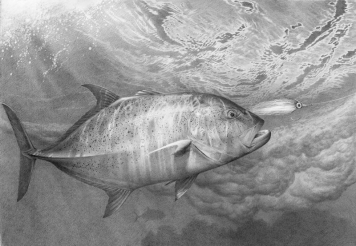 Bluefin, sketch -