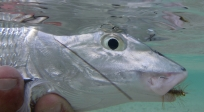 Underwater creature - A bonefish ready to be unhooked and released