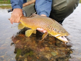 Brown trout - From Rios Gallegos