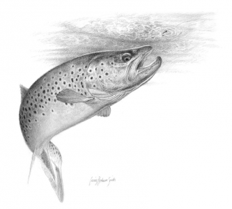 Brown trout rising -