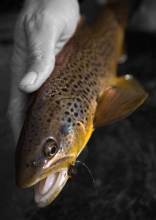 Rio Grande brown trout -
