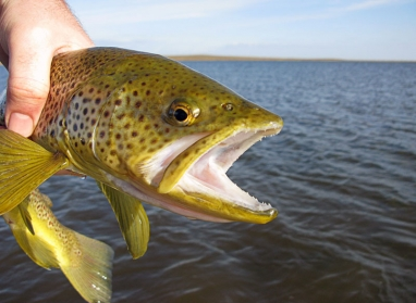 Brownies like it - The Black Ghost is a favored streamer for brown trout