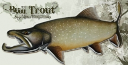 Bull Trout -