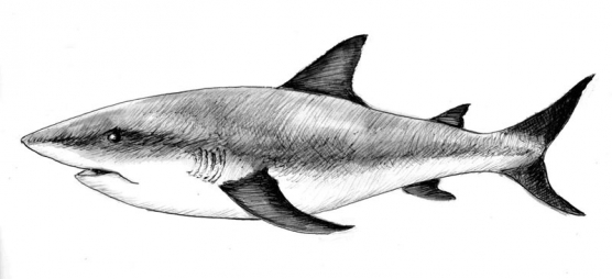 Bull shark - The angler<br /> s quarry attracts another predator