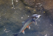 An artic char feeding in the surface. -