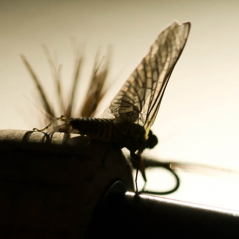 Mayfly profile -