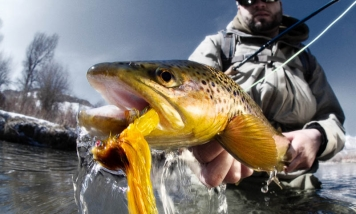 Bright trout -