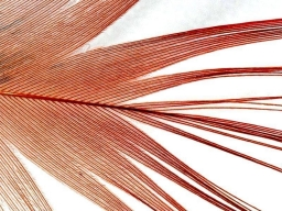 Close-up - A close-up of a golden pheasant flank feather shows the loose structure of the barbs, which will marry very loosely and because of that create great hackles