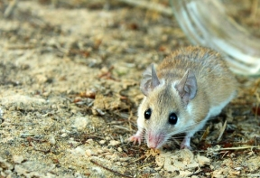 Spiny mouse - A light colored spiny mouse (Acomys cahirinus)