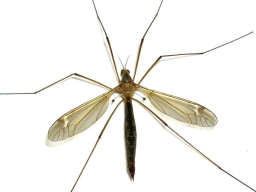 The natural - A very accurate study of a crane fly showing the wing and leg positions in detail. You don\'t need to imitate this. Simply tie a mangled, dead cranefly