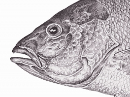 Red snapper detail -