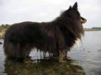 Furry dog - The Shetland Sheepdog has some really nice hair for Sunray Shadows