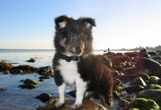 Growing - My Sheltie Divus a few years prior to being a stable provider of winging for Sunray Shadows
