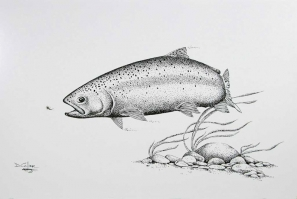 Trout drawing -