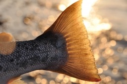 Ah, the beauty! - The tail of a sea trout in the spring sun