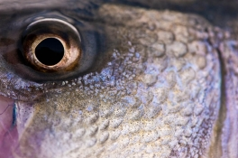 Redfish eye -