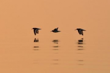 Early birds - Oystercatchers in the morning