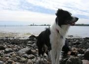 Sam the Border Collie by the water -