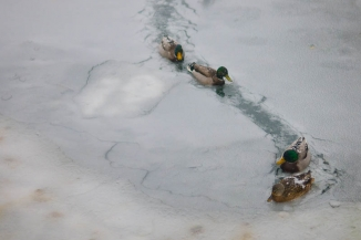 Ducks breaking ice - The ducks in the local canals swimming in the sludge