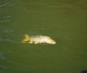 To the surface - A hooked carp has come to the surface and is about ready to be landed