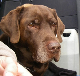 The Chocolate Labrador - Charlie, whose fur is in the fly