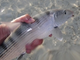 Here's looking at you, kid - Large eyes are one of the bonefish's defensive weapons